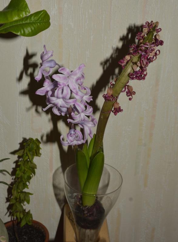 Hyacinthus orientalis - jacinthe - Page 2 246244jacinthe3