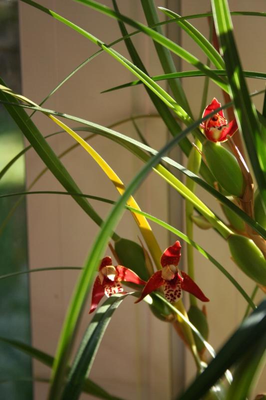 maxillaria tenuifolia  - Page 2 251069IMG9253