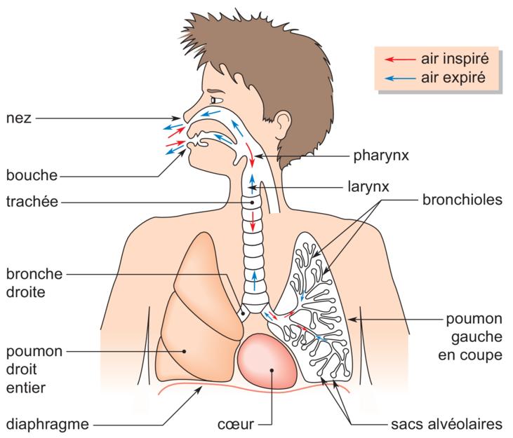 Guide RP du CHU - Page 3 251275Appareilrespiratoire
