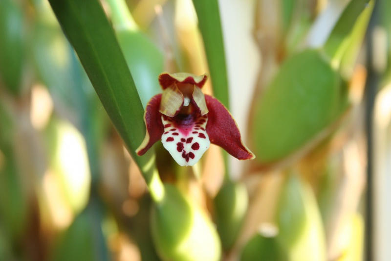 maxillaria tenuifolia  256446IMG9093