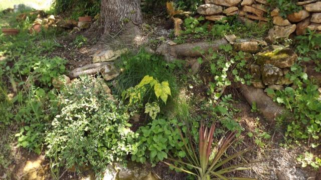Quelques plantes d'ombre ou mi-ombre - Page 2 260813DSCF0736