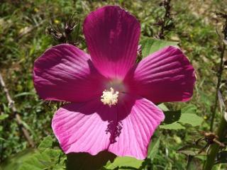 Hibiscus des marais rustiques - sujet général - Page 4 265531DSCF6502