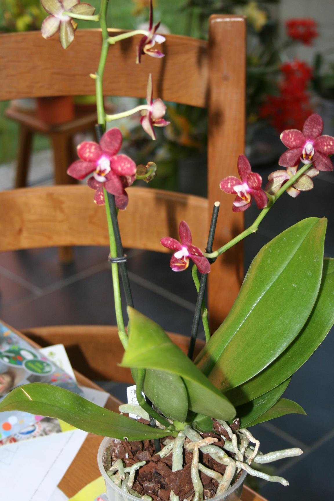 phalaenopsis rouge  268220IMG9021