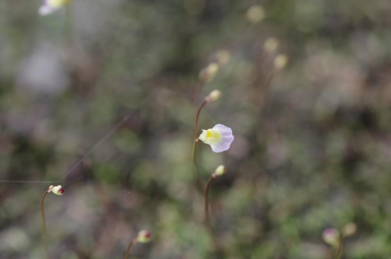 Utricularia Bisquamata 269664IMGP4707