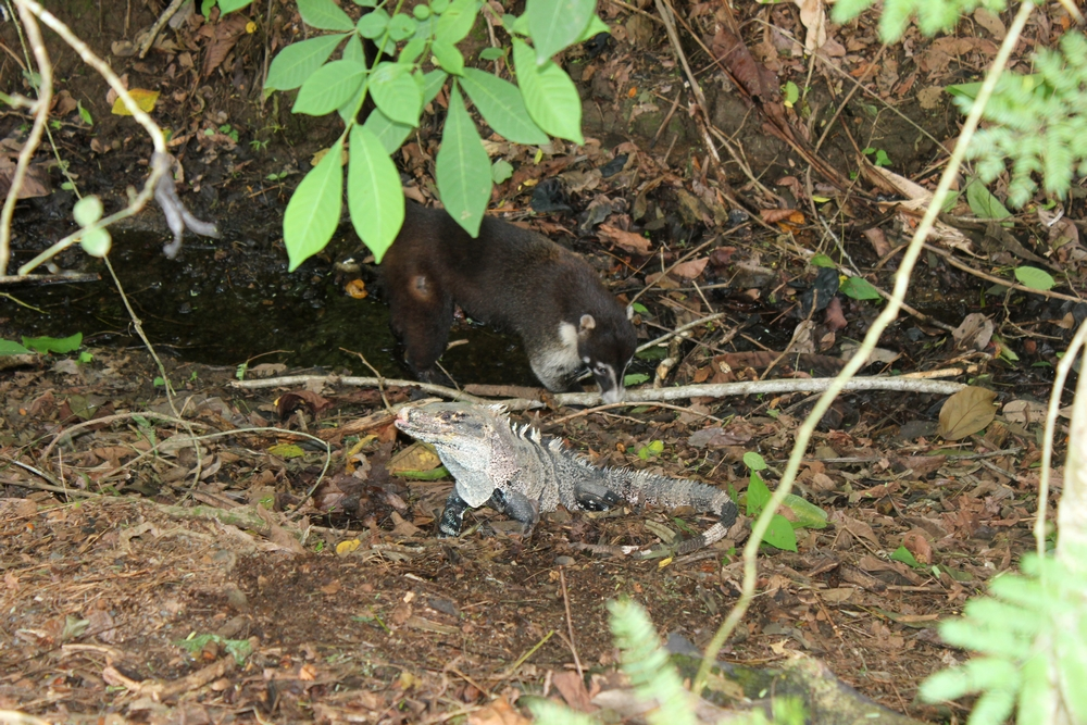 15 jours dans la jungle du Costa Rica 270753coati1r