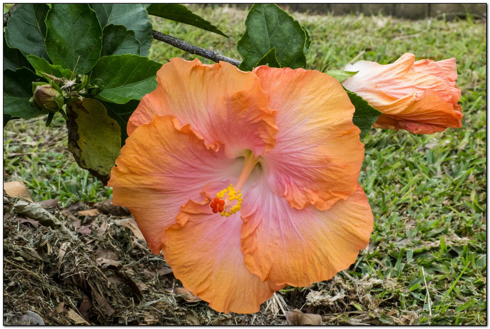 hibiscus saumon  27119814092014P1090561