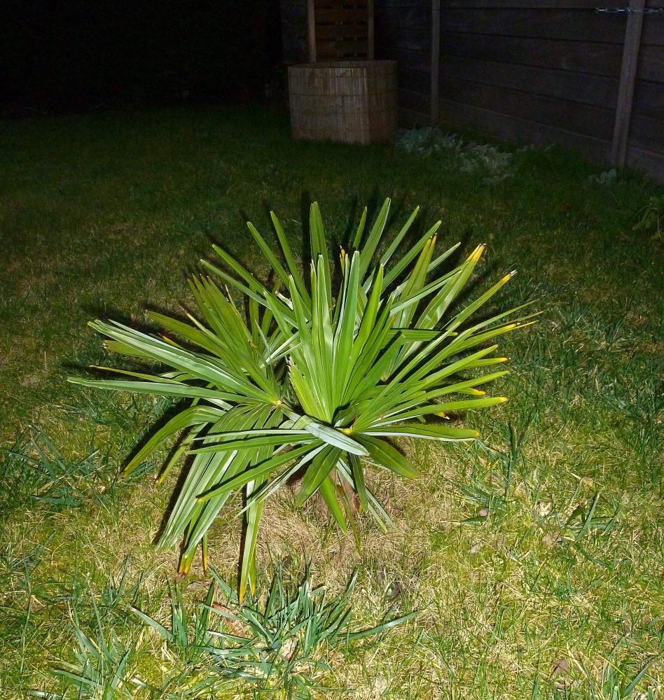 Planter Trachycarpus wagnerianus de 100 cm en Hivert 272975P1040349