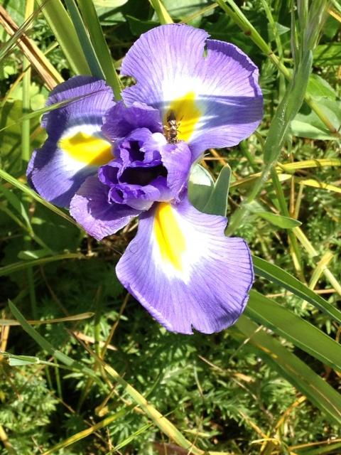Iris d'ici et d'ailleurs - des espèces - Page 2 273968iris1