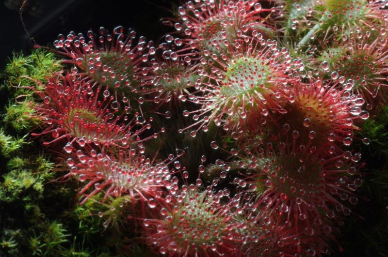 Drosera capilaris 274127IMGP2058