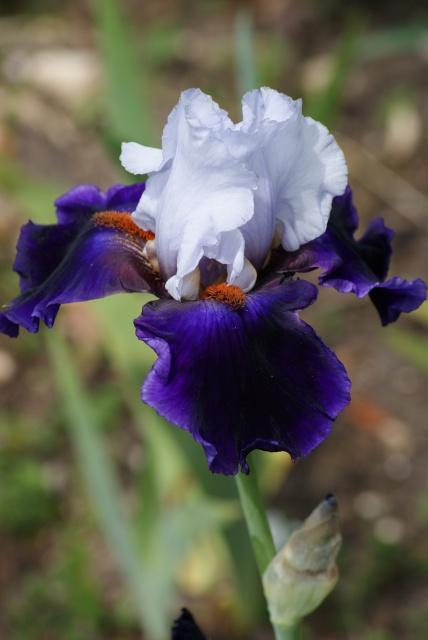 Floraisons 2016 de nos grands iris barbus et Bilan - Page 5 274543041