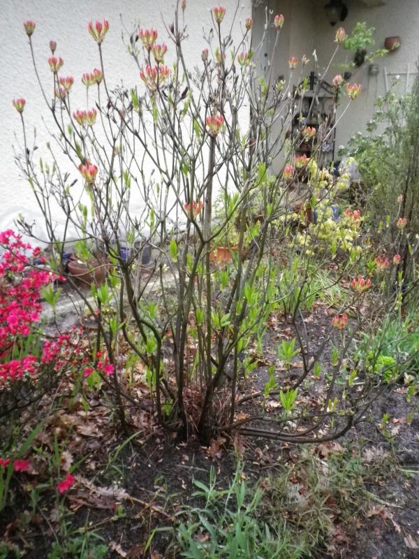 Quelques floraisons - Page 2 281208AzalemollisIMGP2688