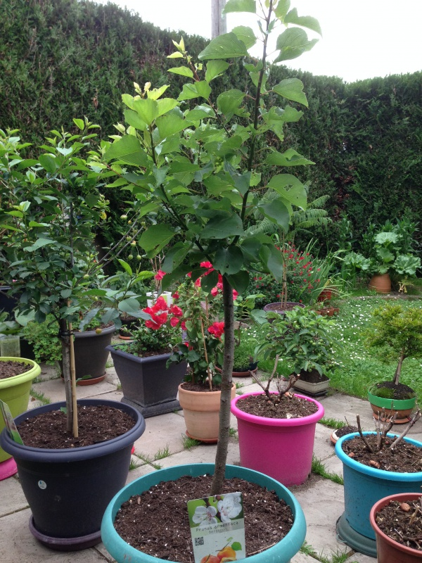 Les Arbres Fruitiers Nains! 283089IMG5636