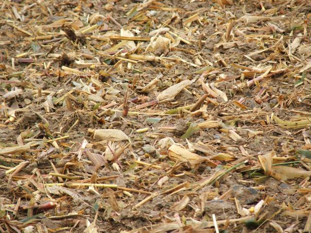 ble derriere un mais grain en semis simplifié 283377toussain_2010_114