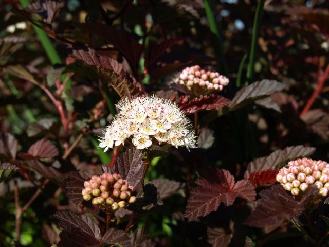 physocarpus red baron 294823P5177055