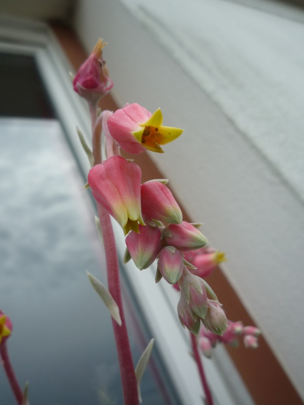 un bouquet de fleurs d'Echeveria pour fêter l'arrivée du soleil! 296596elegansfleurs02