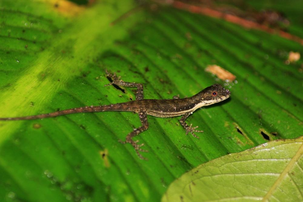 15 jours dans la jungle du Costa Rica - Page 2 297685anolisguayacan2r