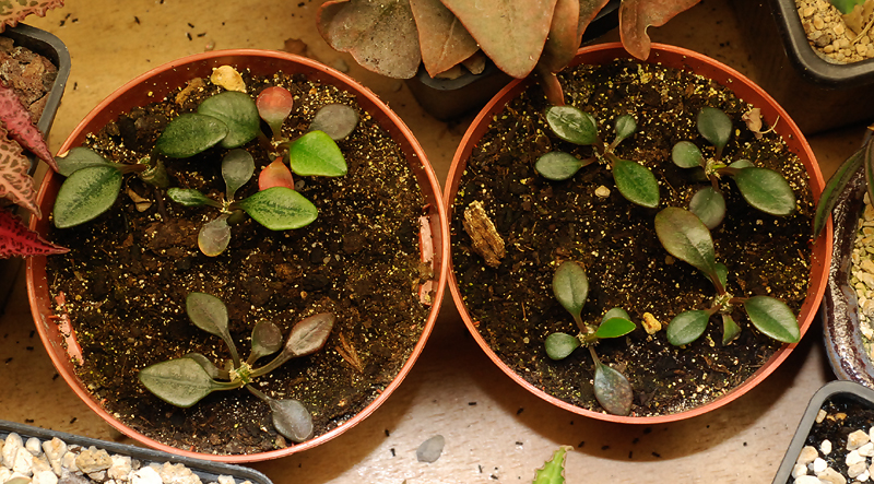 Euphorbia francoisii - Page 3 298252DSC1676