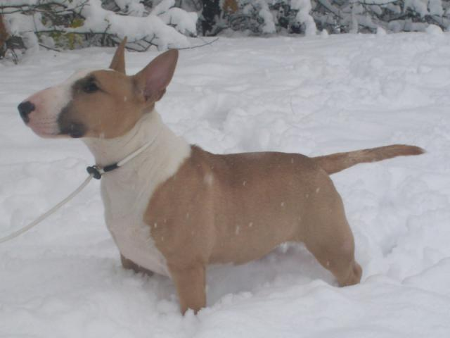 Bull Terrier Miniature 303072snow010v