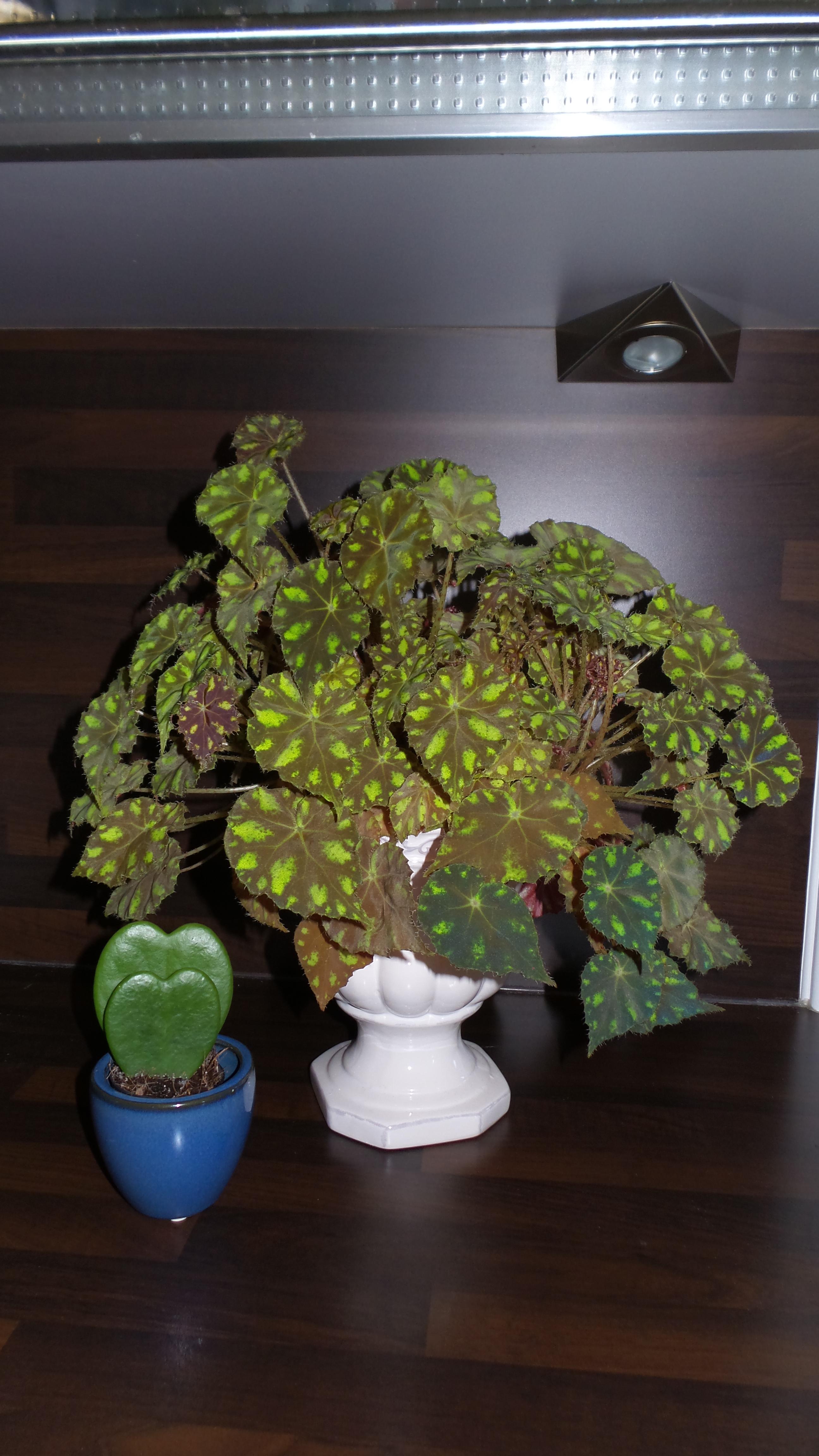 begonia bowerii tiger  - Page 3 30667820160710130339