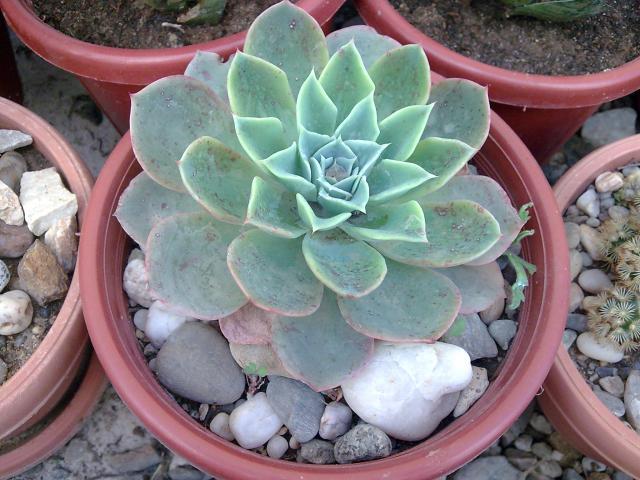 Floraisons de succulentes et cactées - Page 2 309880Photo095