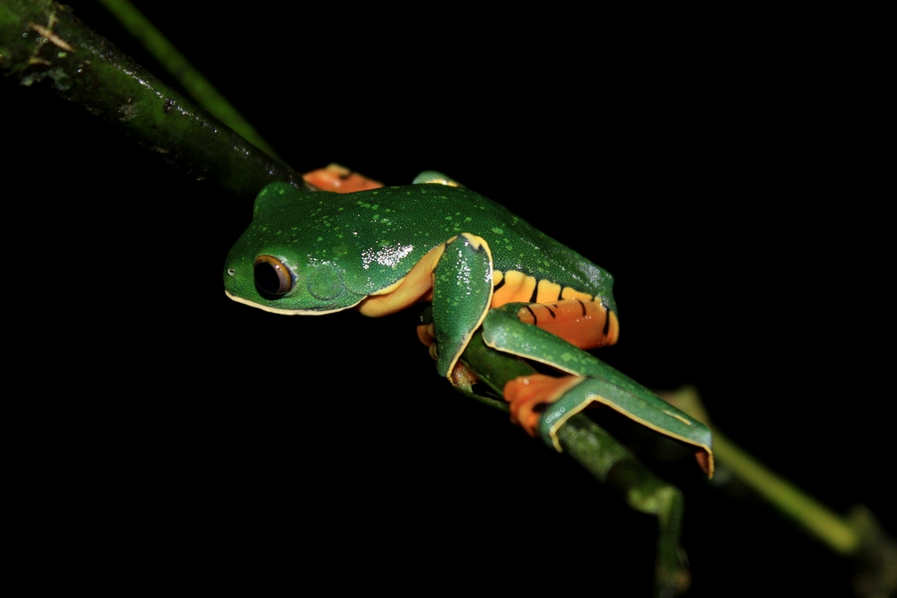 15 jours dans la jungle du Costa Rica - Page 2 310347calca1r
