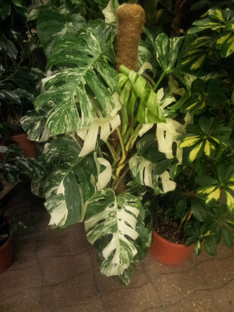 Philodendron Monstera  31229720170109184535