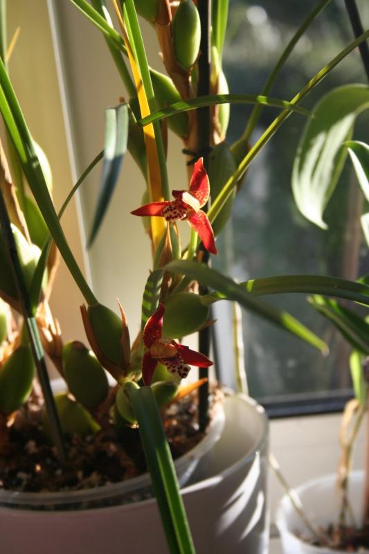 maxillaria tenuifolia  - Page 2 318293IMG9252
