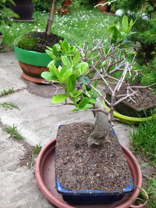 mes bonsaïs - Page 7 322490IMG5650