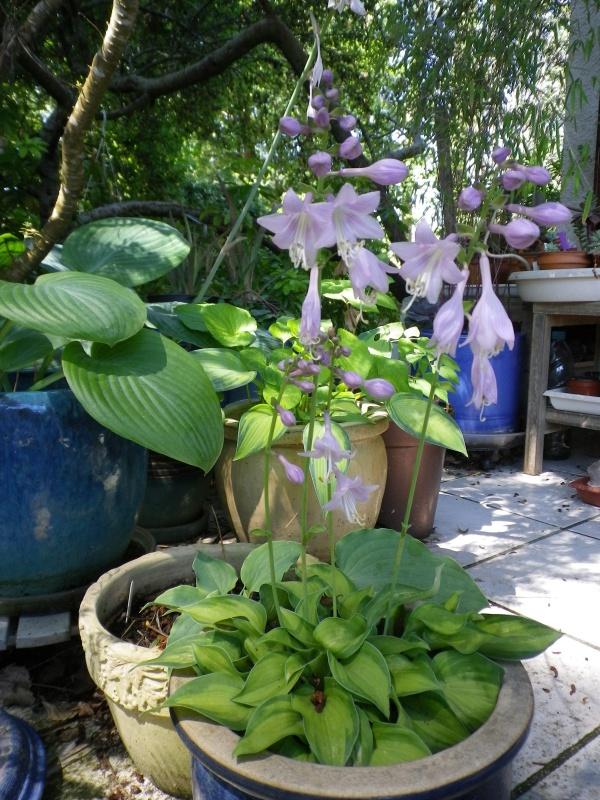 cadeaux du jardin, juin juin - Page 4 322820HostaTickTockIMGP4791