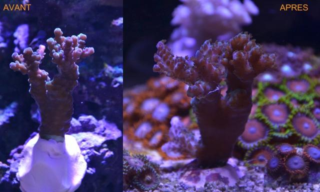 Mon premier aquarium eau de mer - Page 4 327844Accropointbleu