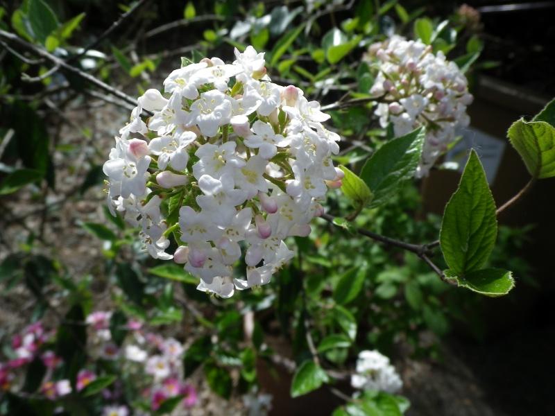 avril, jardin fébrile - Page 4 331173ViburnumburkwoodiiIMGP3982