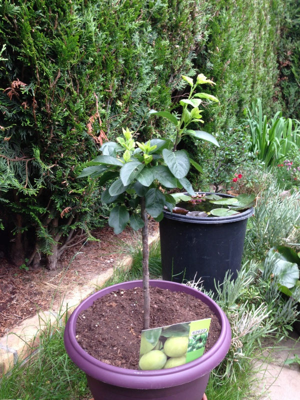 Les Arbres Fruitiers Nains! 334498IMG5630