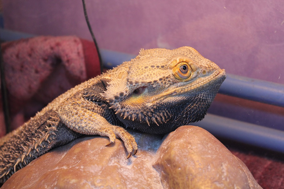 Besoin d'aide pour Bahamut (pogona) - Page 4 339868IMG3327
