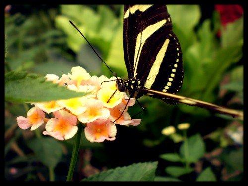 Princess Pavilion (depuis le 8 octobre 2011) - Page 6 343996papillon