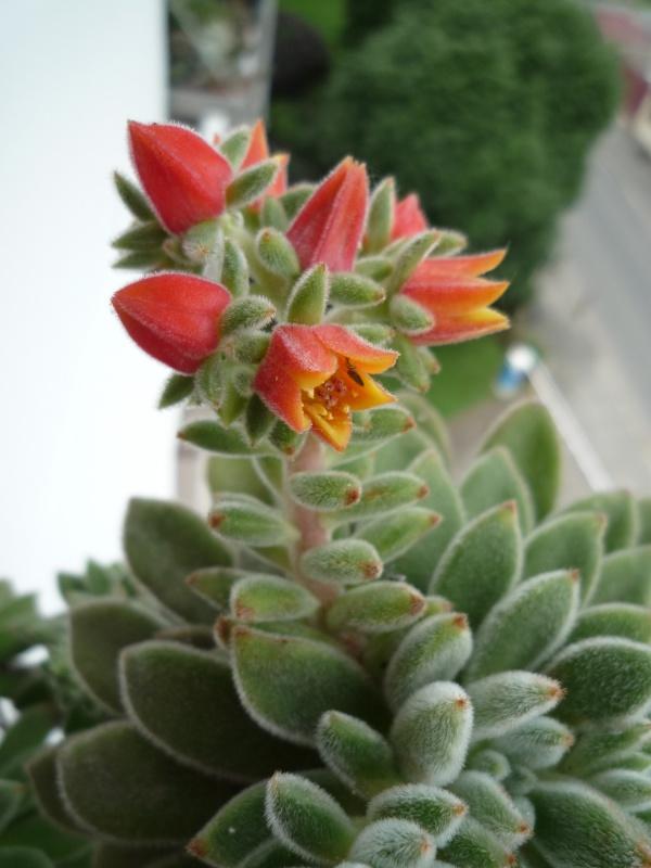 un bouquet de fleurs d'Echeveria pour fêter l'arrivée du soleil! 344109silvergreenfleurs104