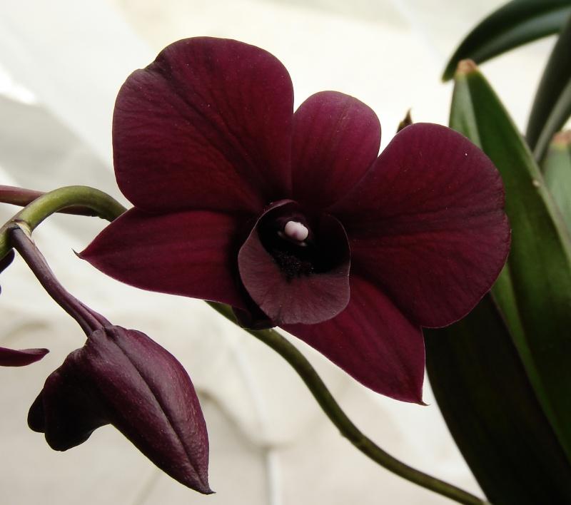Dendrobium Thaïland Black (de type phalaenopsis) 345759dendro2014033001