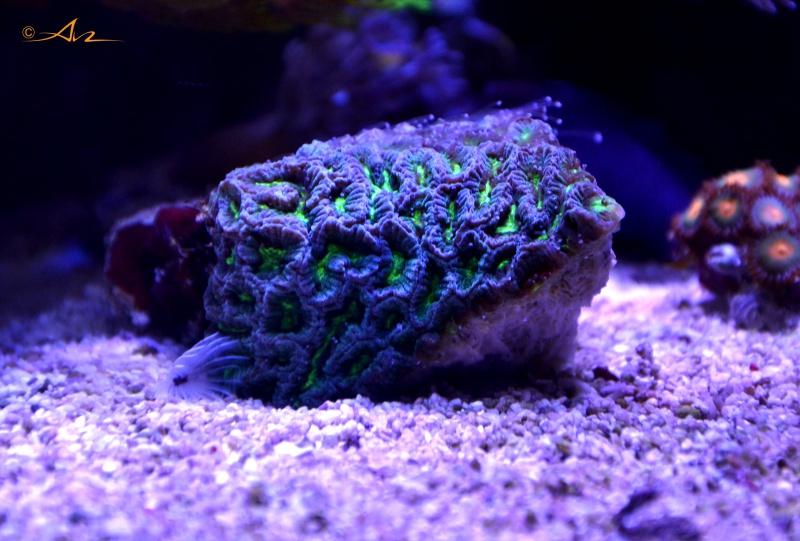 Mon premier aquarium eau de mer - Page 4 348192Platygiravert