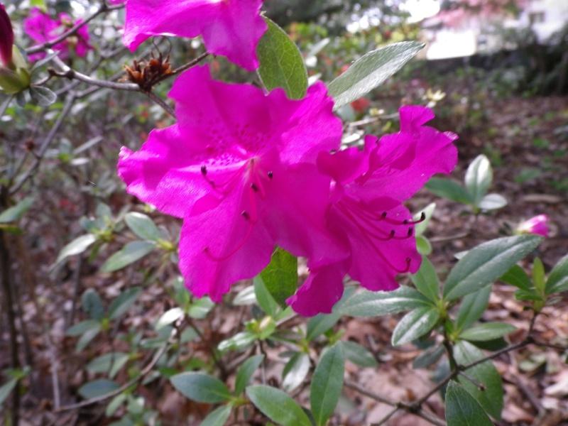 avril, jardin fébrile - Page 5 350738IMGP4342