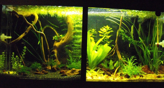 mes aquariums 354905DSCF6185