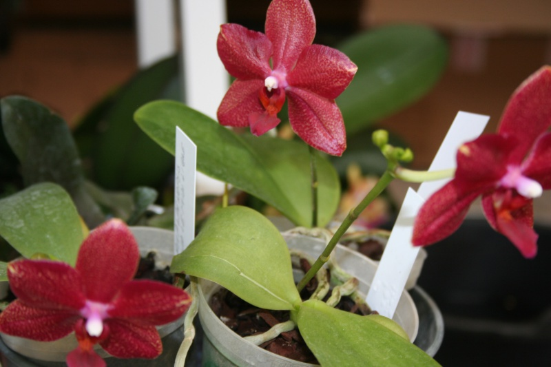 phalaenopsis miva midi libre 355513IMG9226