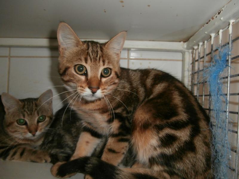 MONOÏ (chaton mâle tigré) 361184P8201619