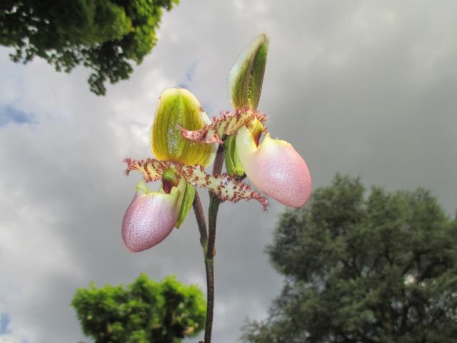 LES VOTES SONT FERMÉS - La fleur du mois (catégorie acheté avec hampe, boutons ou fleurs) - mai 2016 374731IMG7133