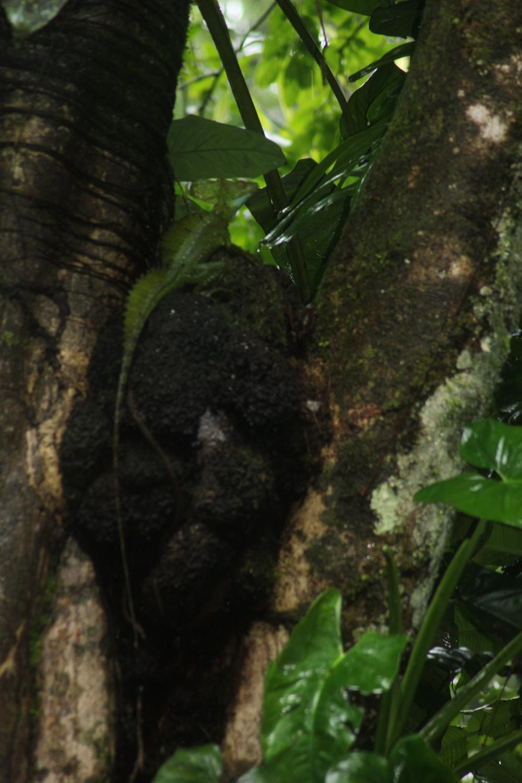 15 jours dans la jungle du Costa Rica 377308plumifrons1r