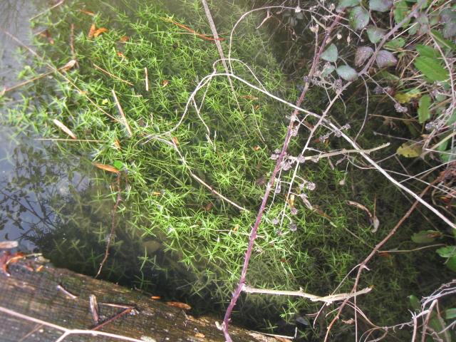 peut etre une aquatique :  Crassula helmsii 383056IMG2448
