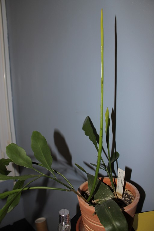 Epiphyllum Oxypetalumca pousse mais pas encore de fleurs! 38346512dcembre20155