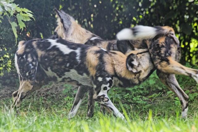 Zoo du Pal (Allier: Dompierre sur Besbre) 391786IMG_6378_DxO__640x480_