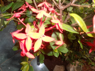 fleur de cuba a identifier  394147DSCN2068