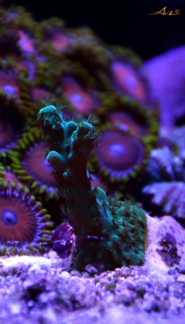 Mon premier aquarium eau de mer - Page 4 394701Accrovert
