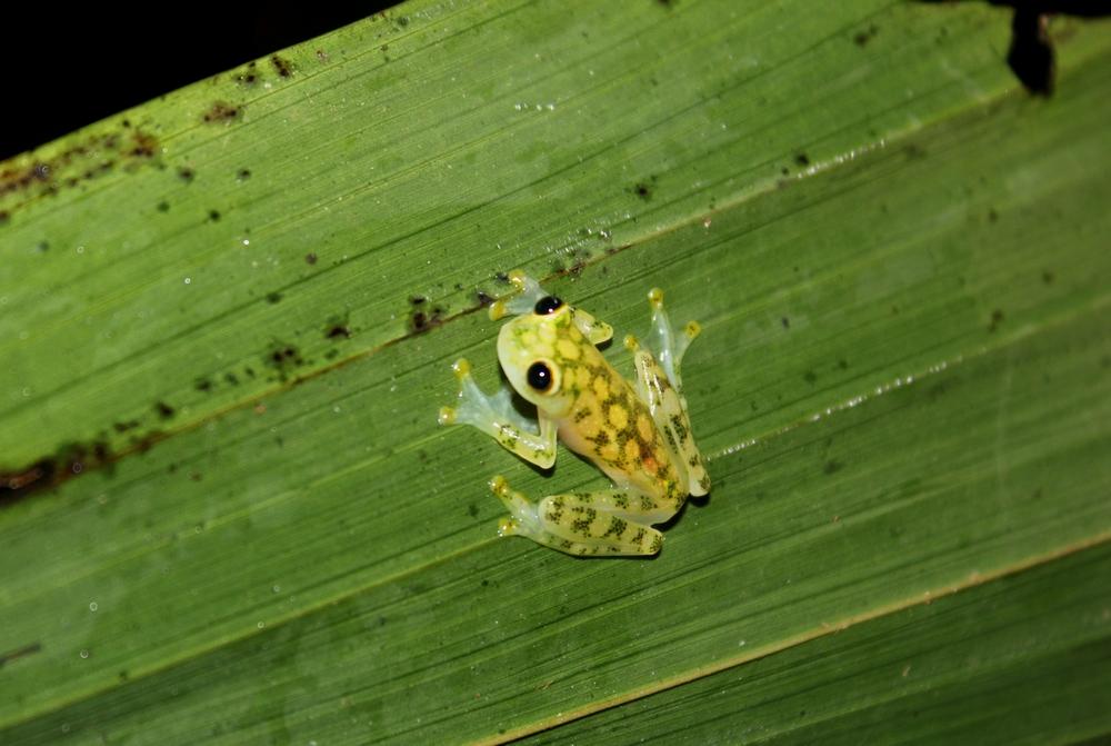 15 jours dans la jungle du Costa Rica - Page 2 397799hyalanoval1r