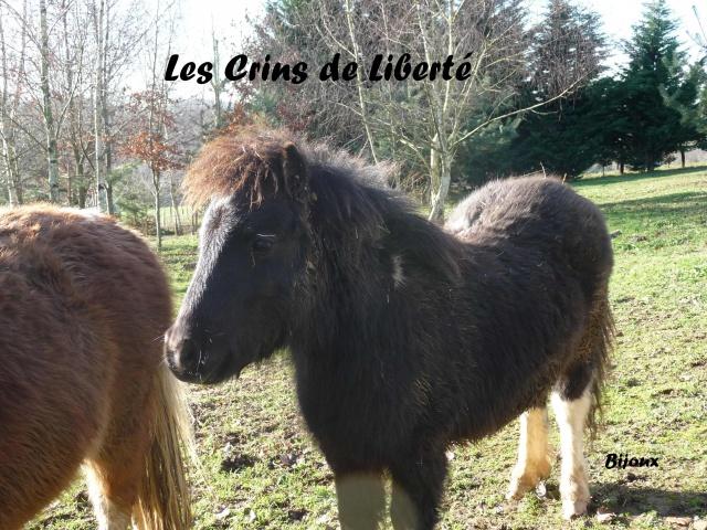 (Dept19) BIJOUX, Shetland, réservé par Lola1605 !!!! (Octobre 2012) - Page 5 399991Bijoux3